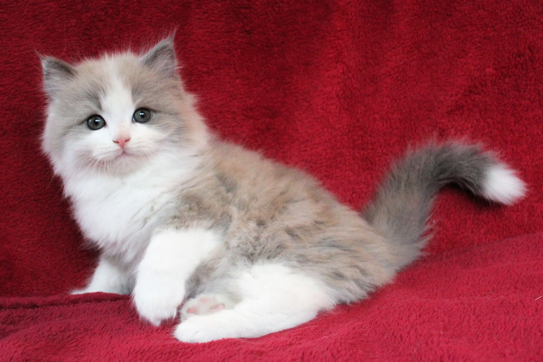 Ragamuffins Kittens And Cats For Sale Country Muffins